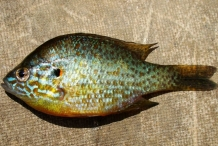 Close view of Pumpkinseed Sunfish