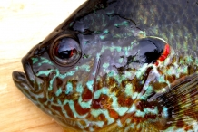 Head-of-Pumpkinseed-sunfish