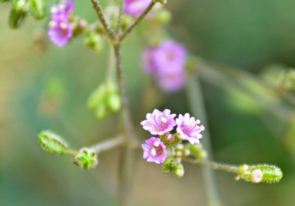 Punarnava-Common Hogweed