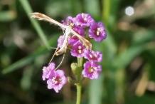 Punarnava-pigweed
