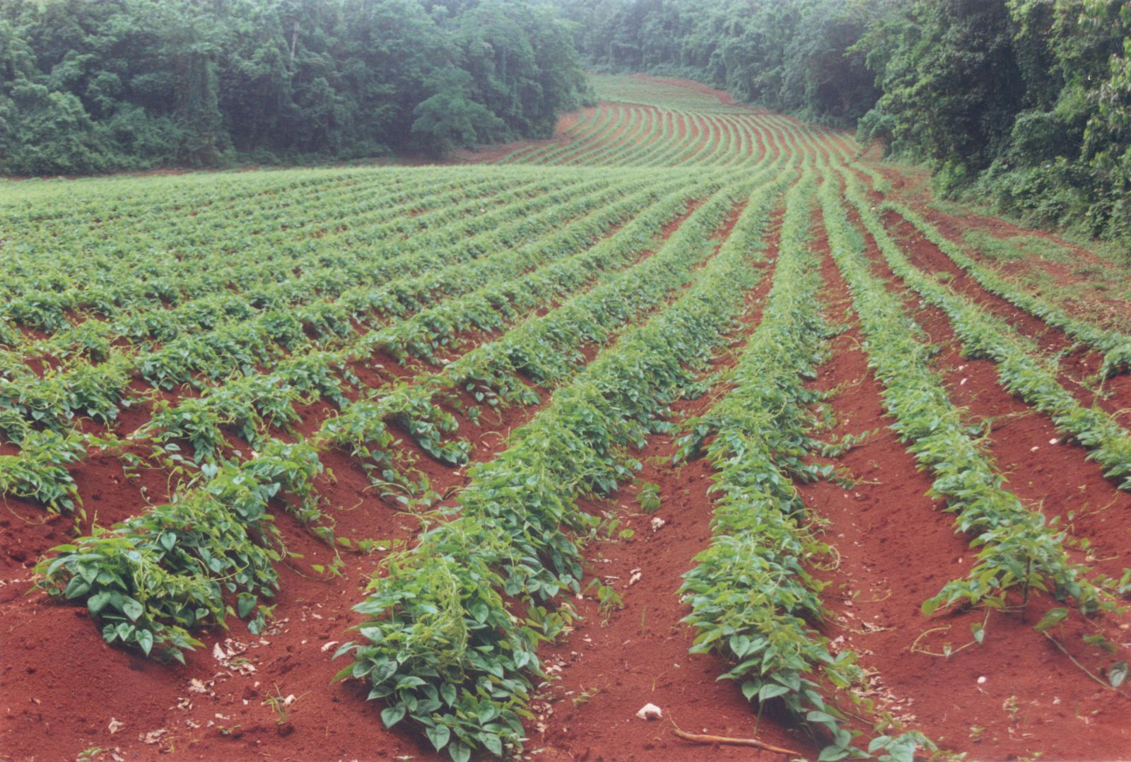 Purple-yam-farm-white yam
