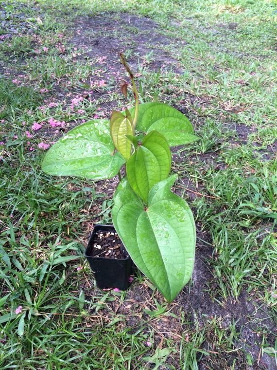 Purple-yam-plant-Mao shu