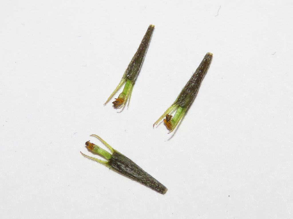 Purplestem-beggarticks-seeds