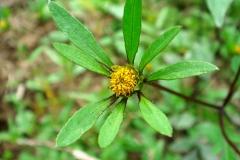 Close-view-of-Purplestem-beggarticks-flower