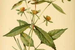 Plant-illustration-of-Purplestem-beggarticks