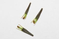 Purplestem-beggarticks-seeds