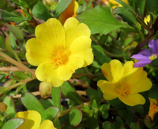 Close-up-flower-of-Purslane