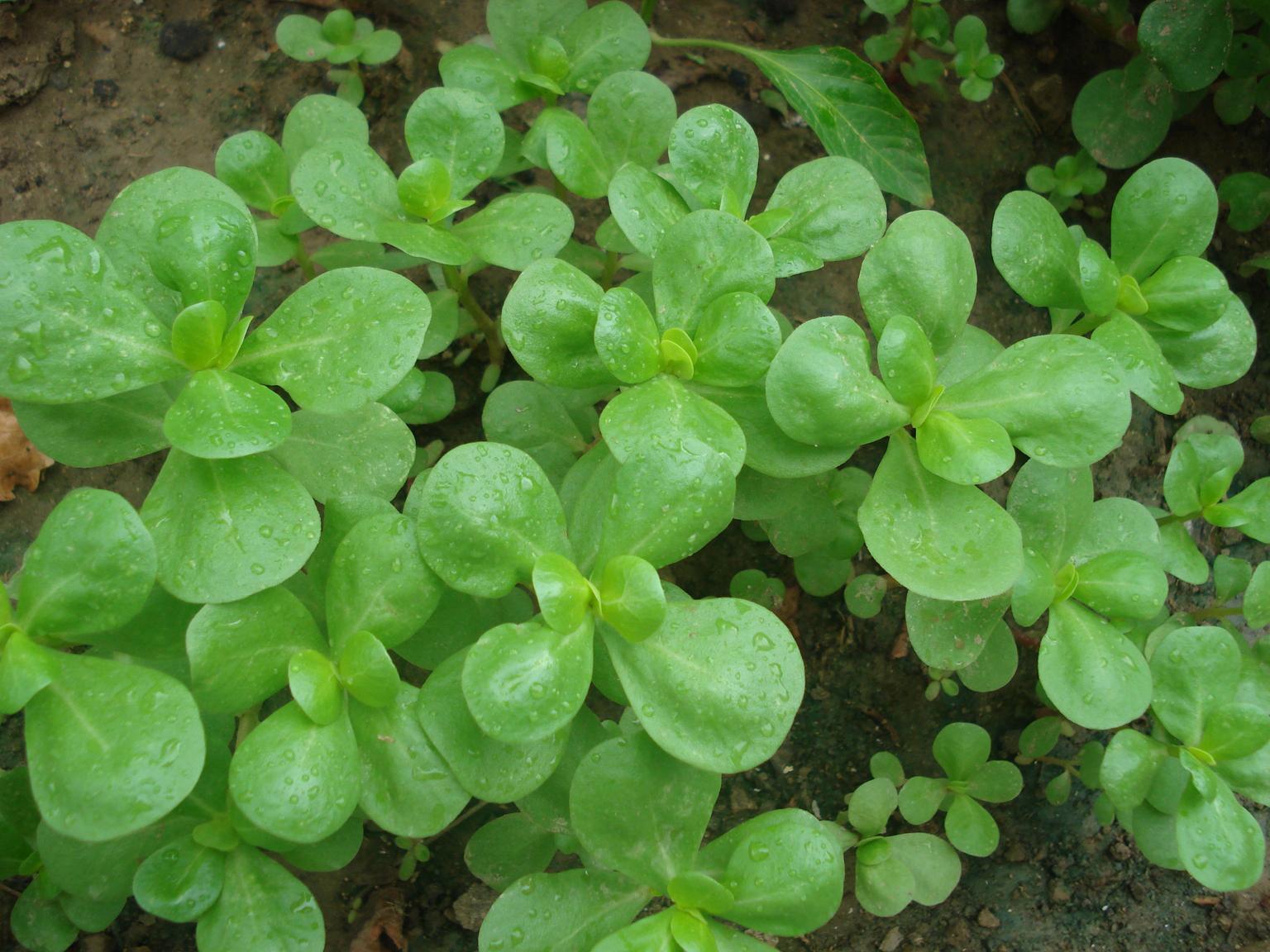 Leaves-of-Purslane