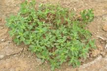 Purslane-plant