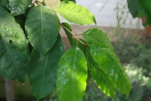 Leaves-of-Pygeum