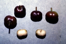 Mature-fruits-of-Pygeum