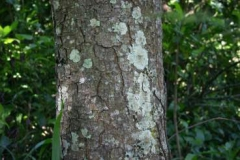 Bark-of-Pygeum-plant