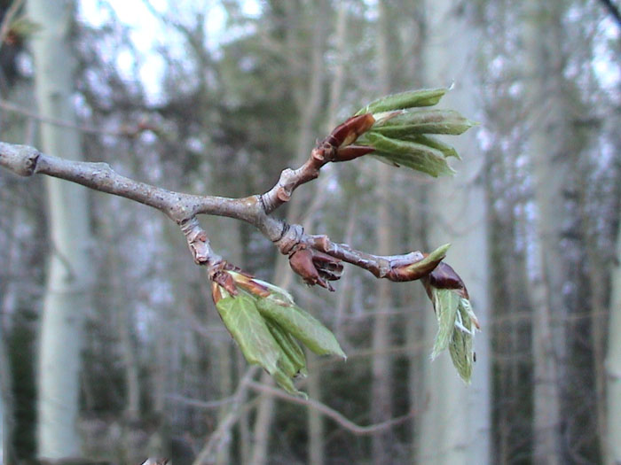 Leaves-Emerging-in-Quaking-plant