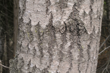 Bark-of-Quaking-Aspen