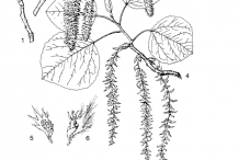Quaking-Aspen-plant-Illustration