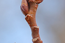 Quaking-Aspen-twig