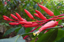 Quassia-Flower