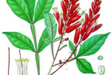 Quassia-plant-Illustration
