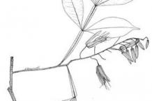 Quassia-plant-Sketch