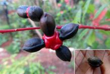 Quassia-ripe-fruit