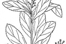 Sketch-of-Queen's-Delight-plant