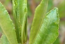 Queen's-delight-leaves