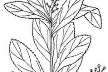 Sketch-of-Queen's-Delight-plant
