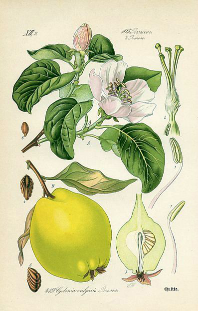 Quince-plant-illustration