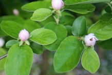 Quince-flower-buds