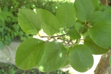Quince-leaves