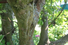 Quince-trunk