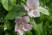 Quince-close-up-flowers