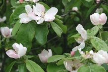 Quince-foliage-and-flowers