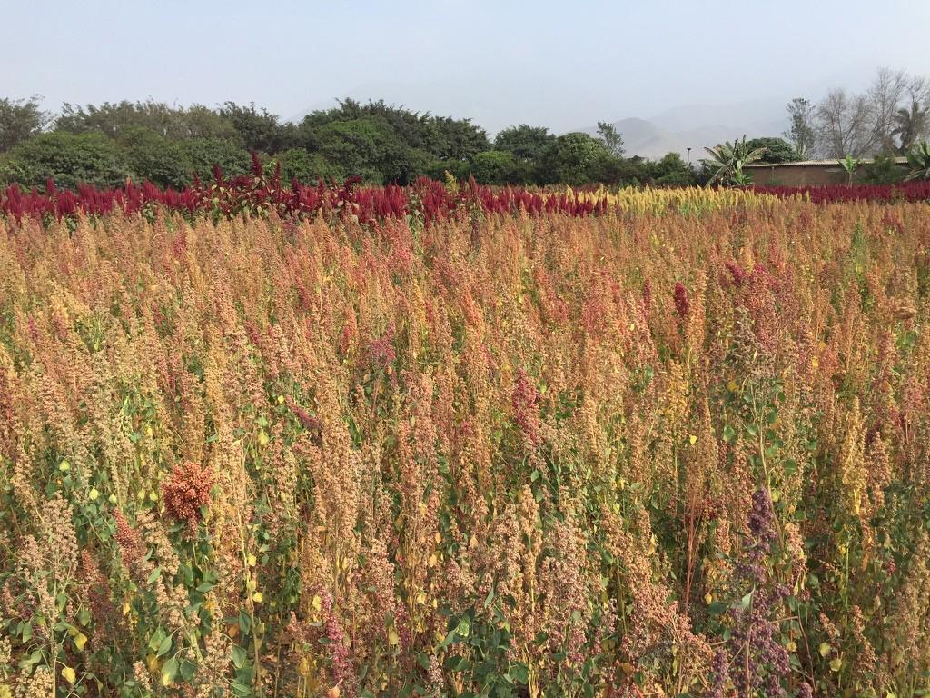 Quinoa-farm
