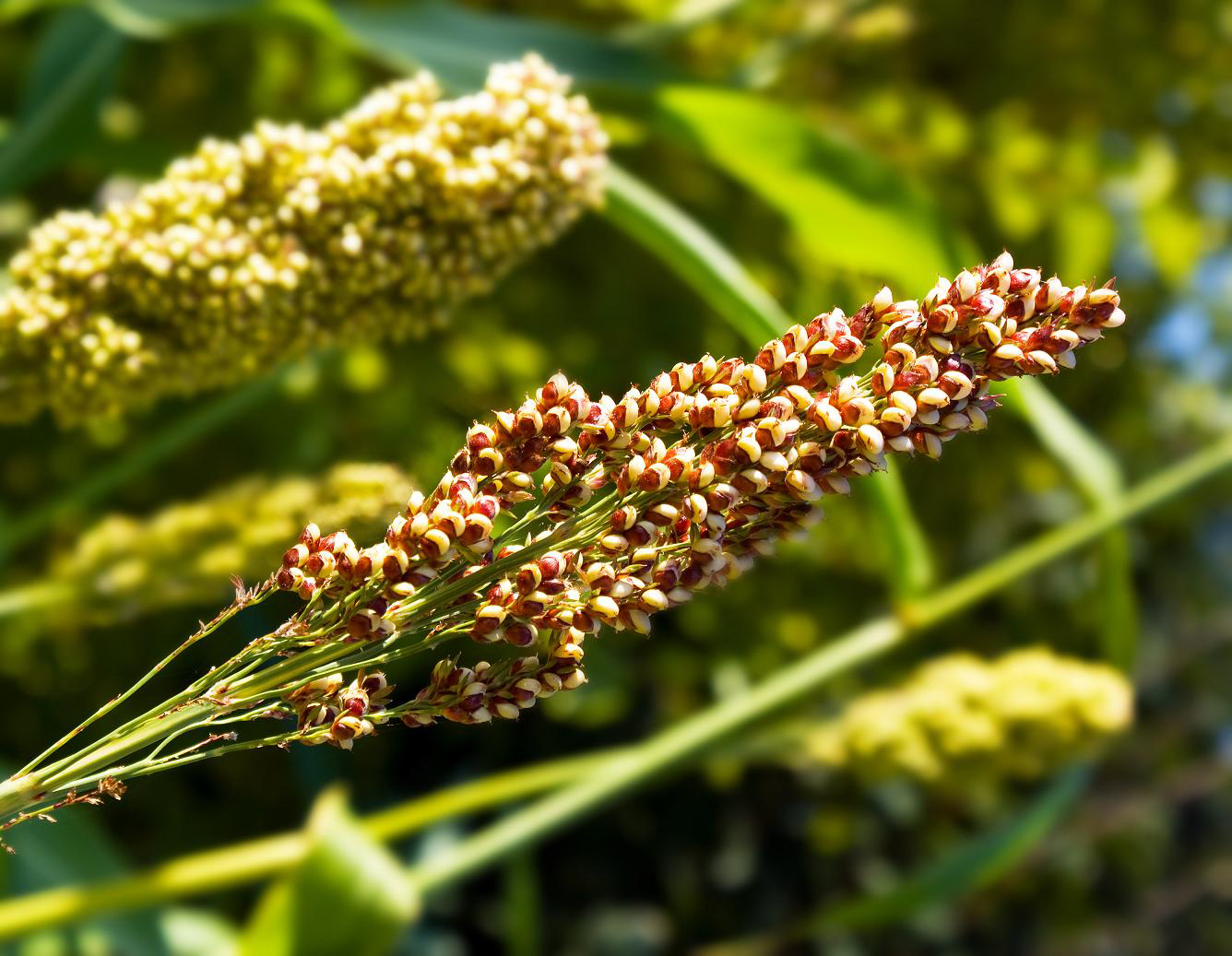 Quinoa-in-the-plant