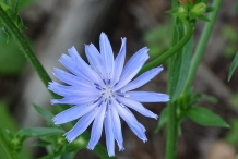 Close-up-flower-of-Radicchio