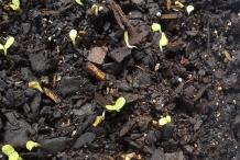 Radicchio-seedlings