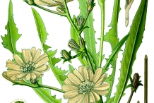 Plant-illustration-of-Radicchio