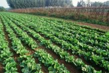 Radicchio-farm