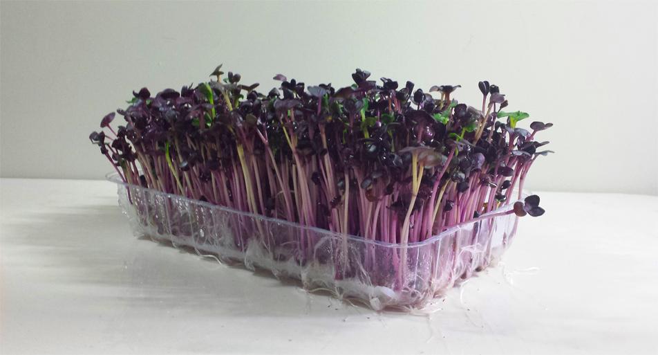 Radish-sprouts-4