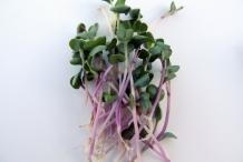 Radish-sprouts-5
