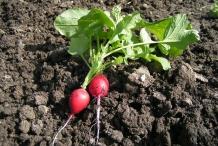 Radish-plant