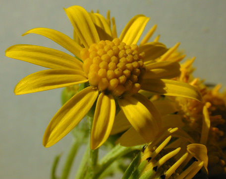 Ragwort-Flower