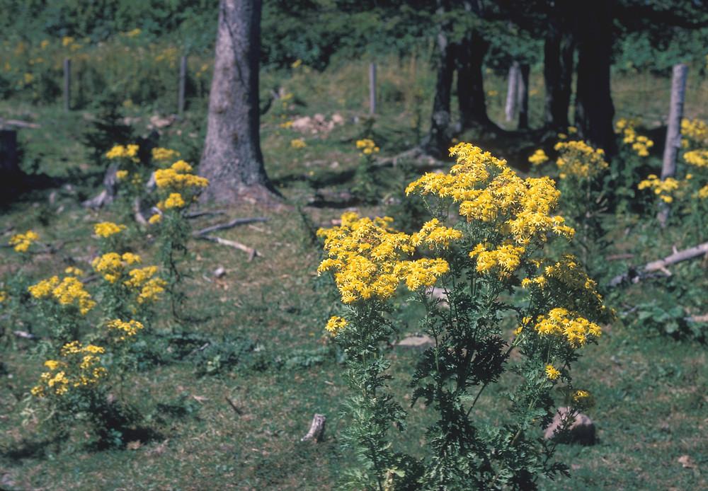 Ragwort-plant-Growing-Wild