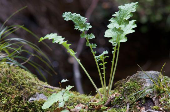 Small-Ragwort-Plant