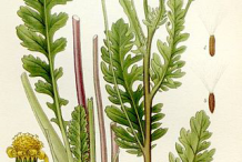 Illustration-of-Ragwort-plant