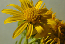 Ragwort-Flower