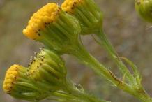 Flowering-buds-of-Ragwort-plant