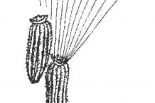 Fruit-of-Ragwort-plant