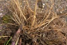 Root-of-Ragwort-Plant